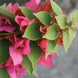 Bougainvillea variante Mini Thai